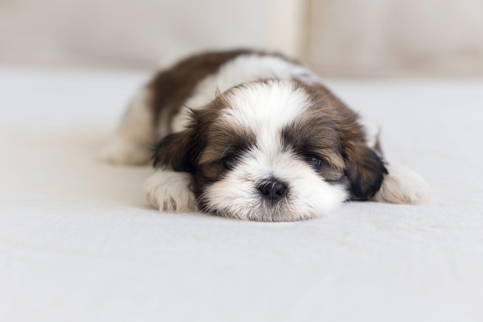 Cachorros de raça: Shih Tzu filhote dormindo sua soneca confortável.