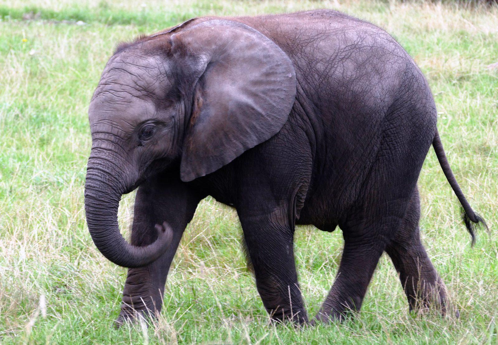 Há duas espécies de elefantes e algumas subespécies.