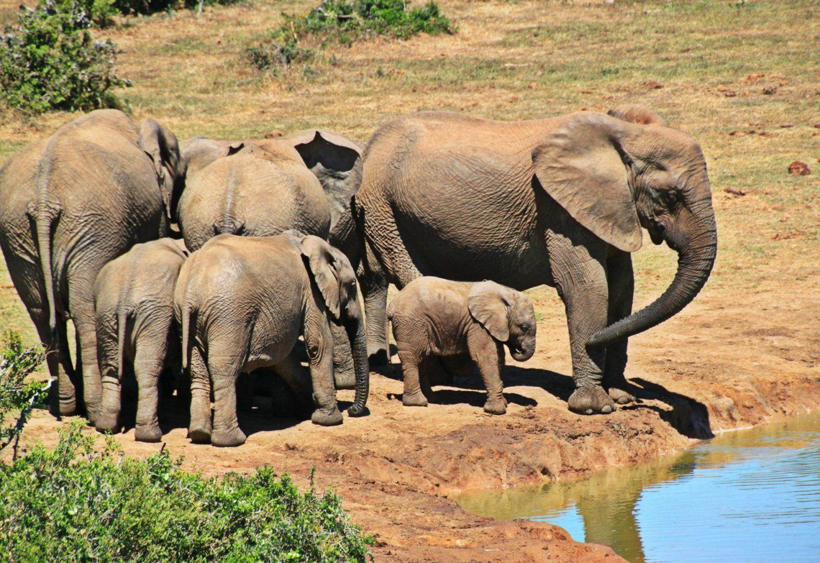 O elefante é um mamífero placentário.