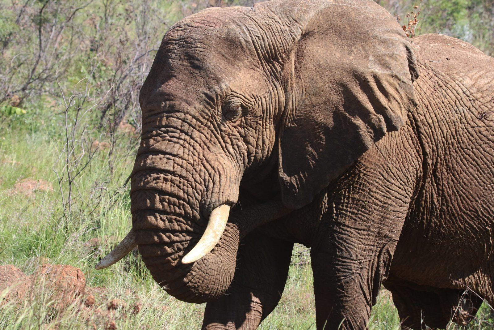 Apesar de enorme e pesado, o elefante é uma nimal frágil.