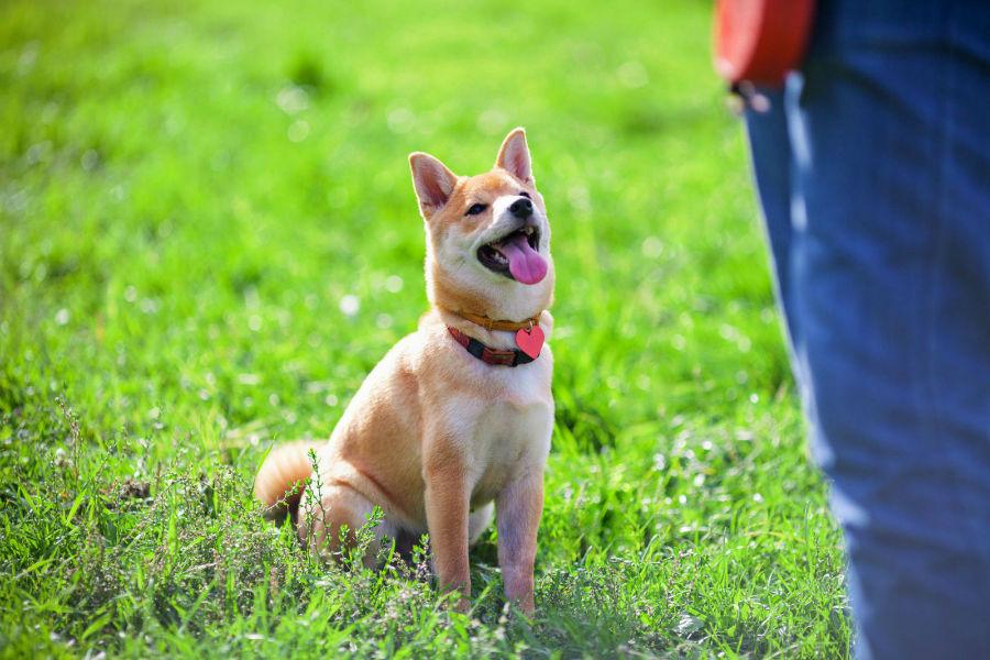 Como adestrar um cachorro: Shiba Inu sendo treinado pelo método de clicking