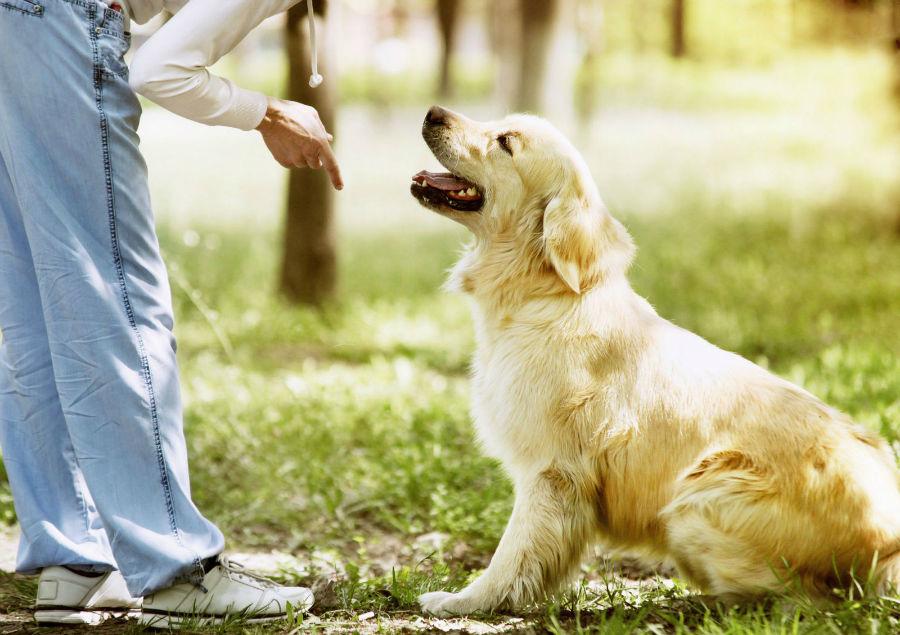 Como adestrar um cachorro: Golden Retriever sendo treinado de acordo com a sua personalidade.