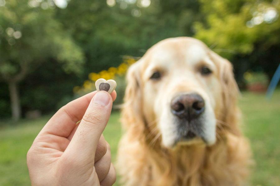 Como adestrar um cachorro: Golden retriever olhando para o seu dono segurando um biscoito canino.