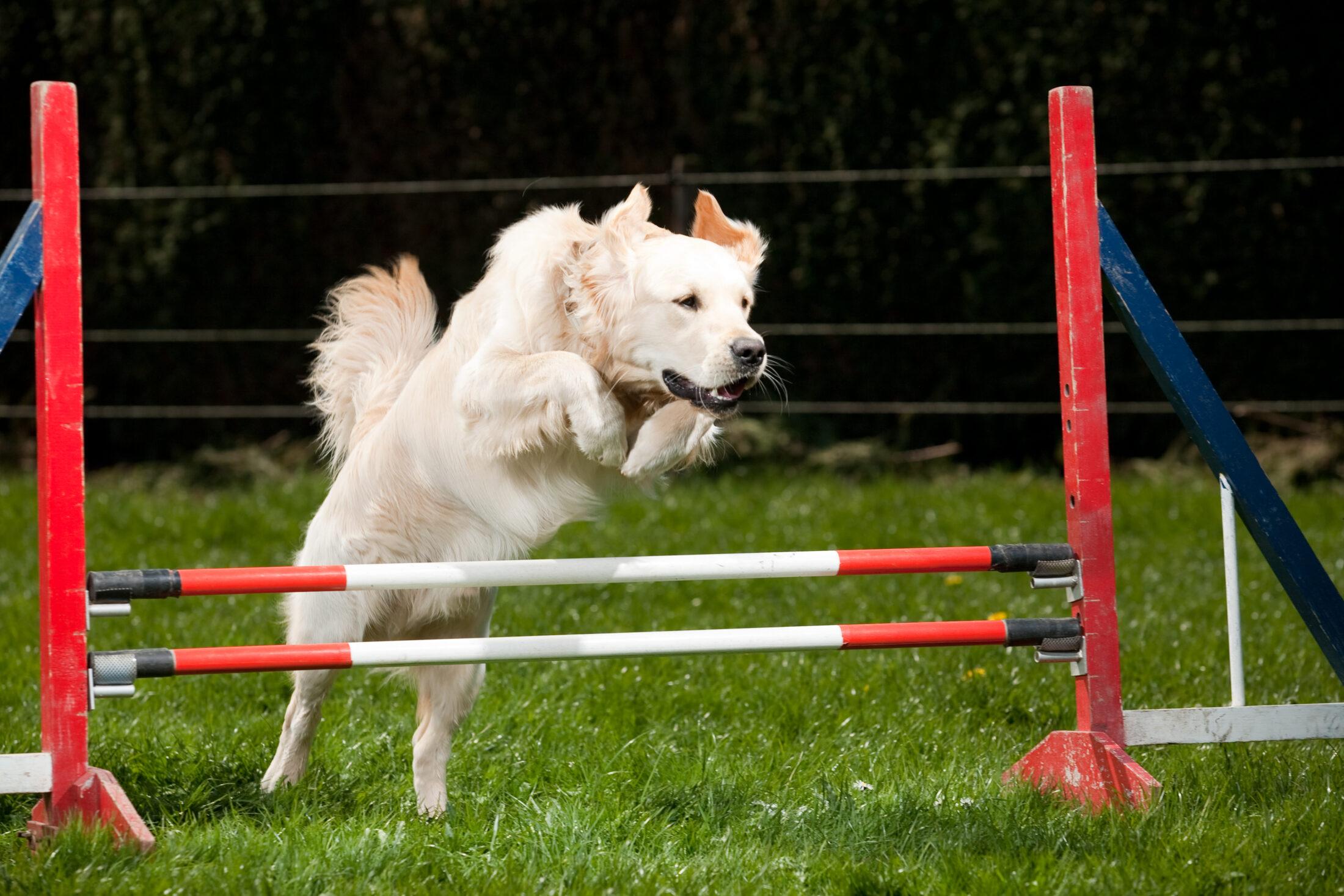 cachorros pulando obstáculos em treinamento