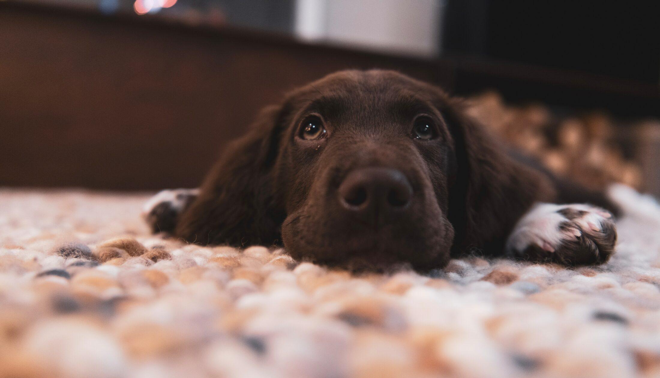 cachorro deitado no tapete
