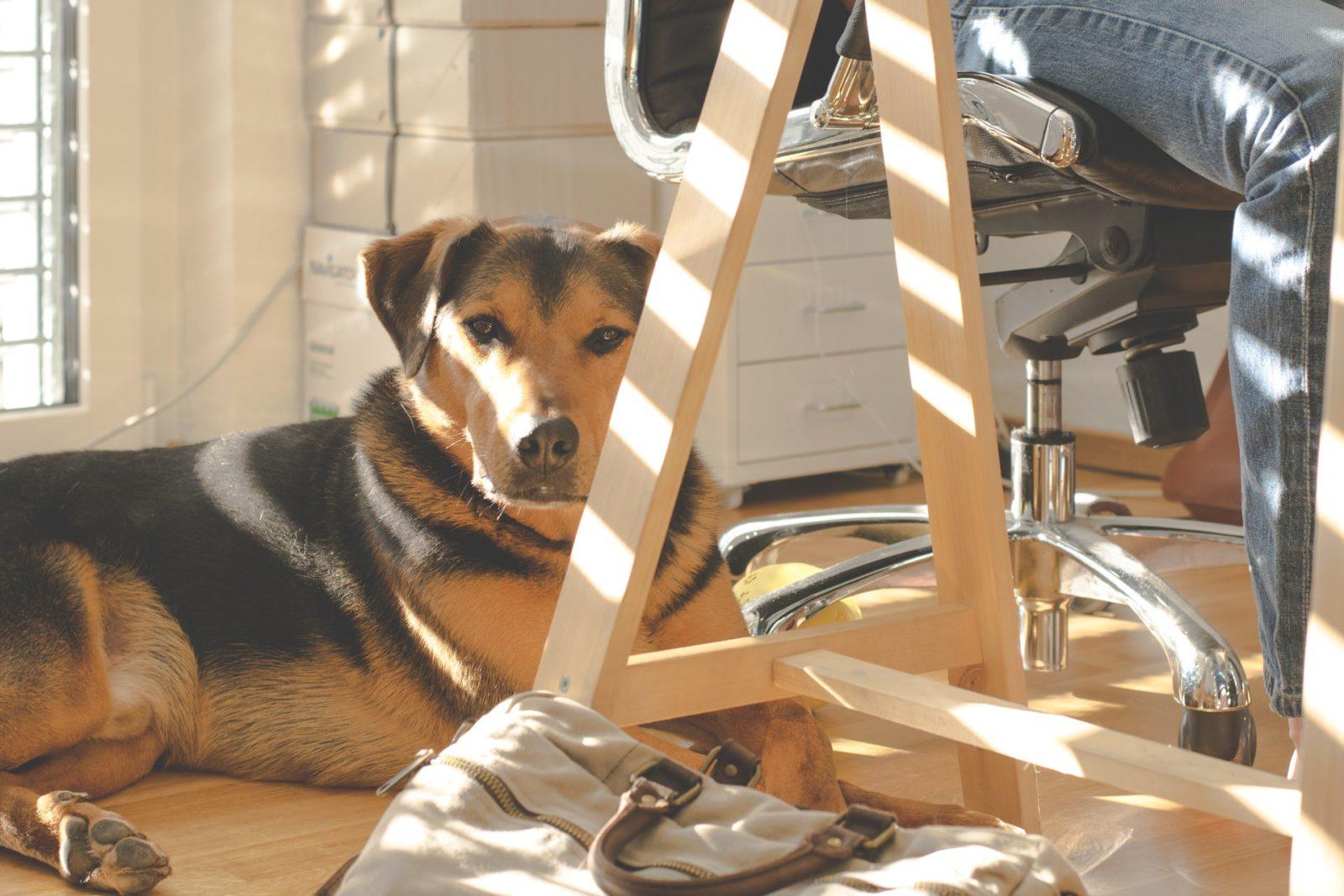 cachorro deitado no chão ao pé da cadeira em escritório petfriendly
