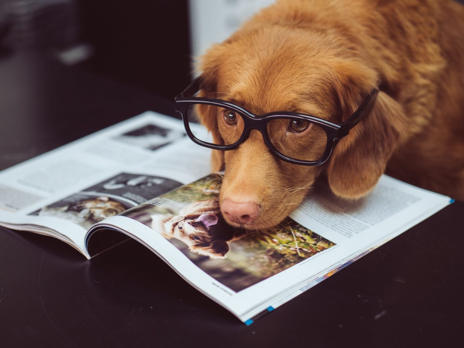 cachorro de óculo sobre livro da mesa de escritório petfriendly