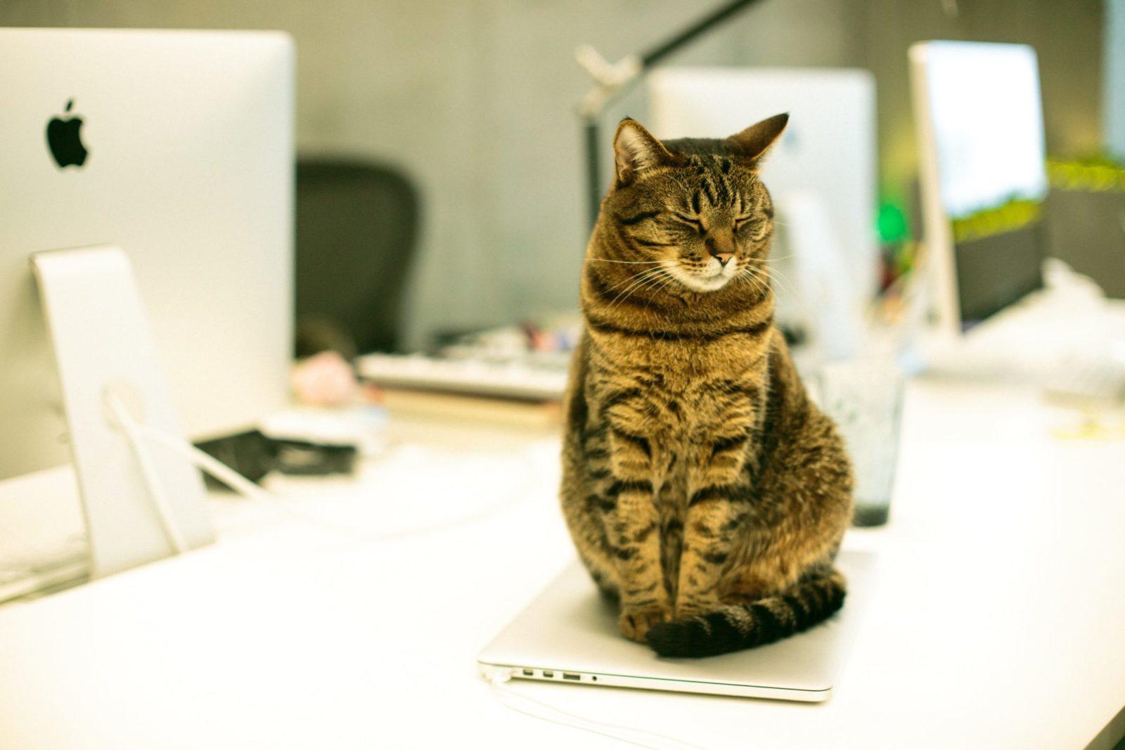 gato em cima da mesa de escritório petfriendly