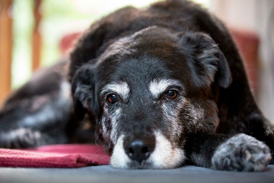 estender-longevidade-cachorro-idosos