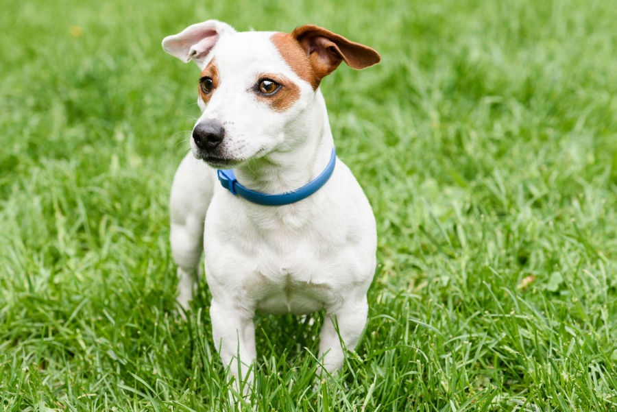 estender-longevidade-cachorro-pulgas