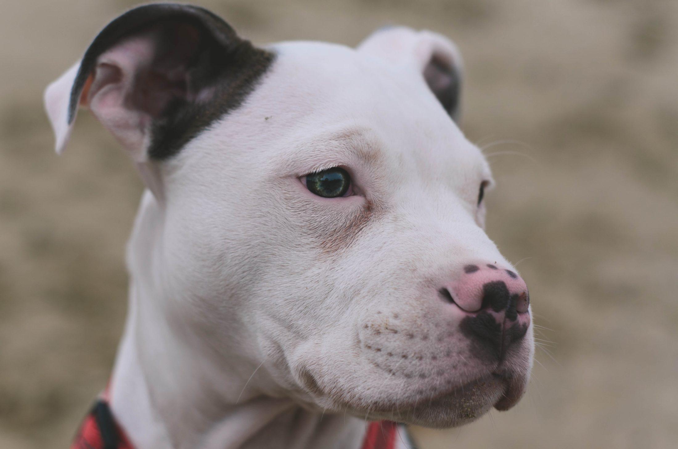 pit bull dócil e manso provando que raças de cães de luta não são agressivas - fake news