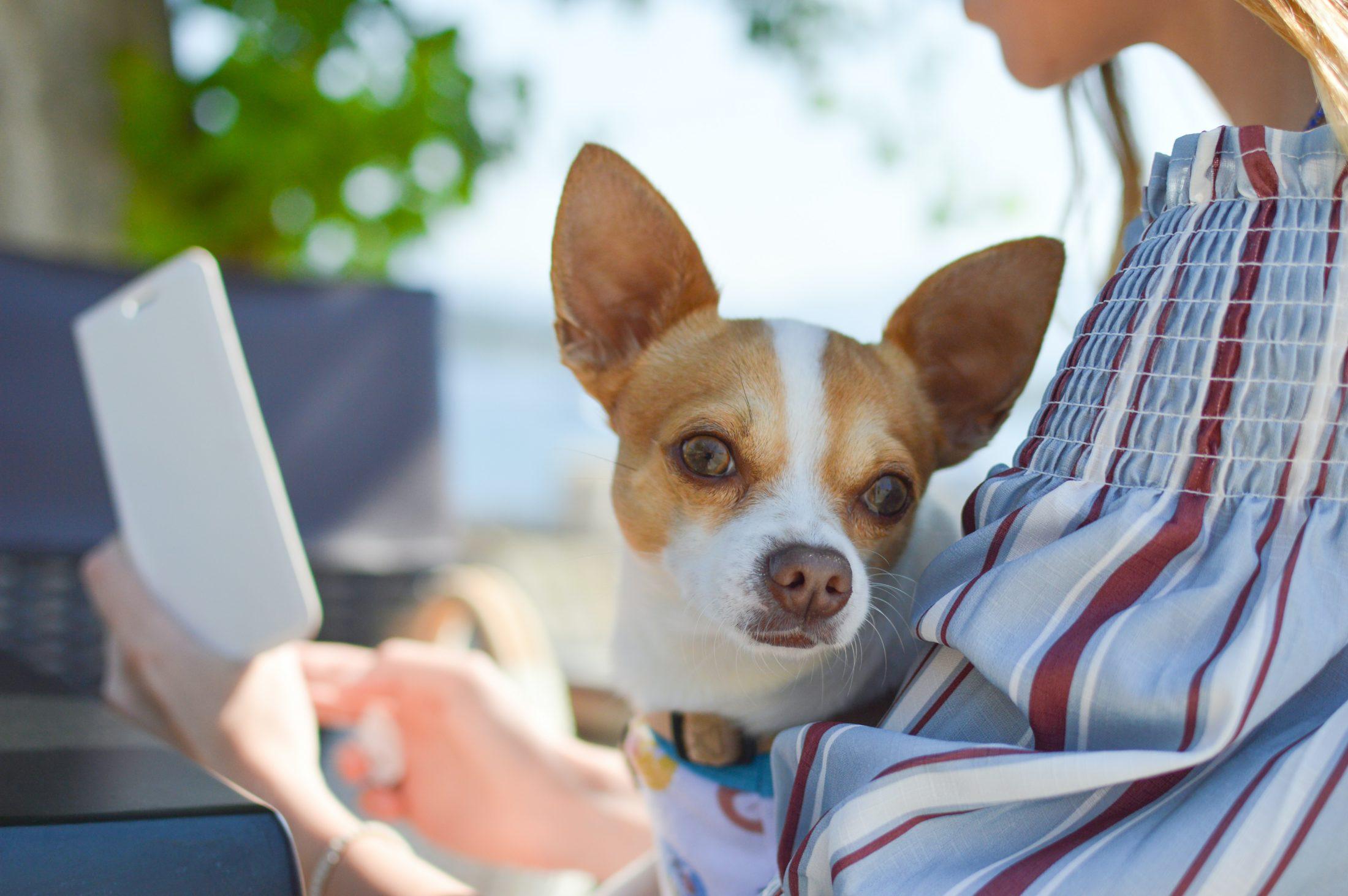 cachorro no colo da dona enquanto ela trabalha no celular
