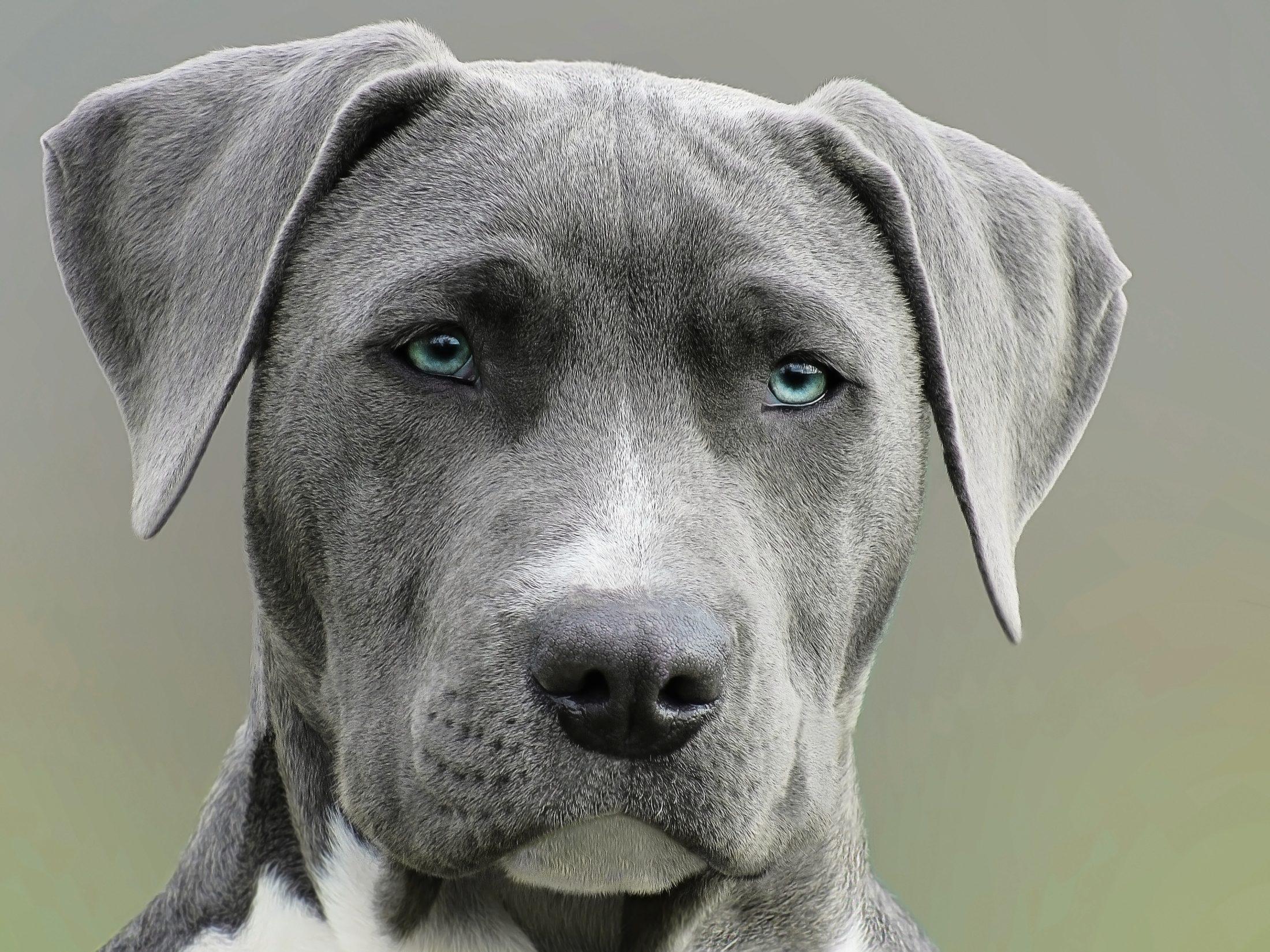 cachorro terrier cinza e branco