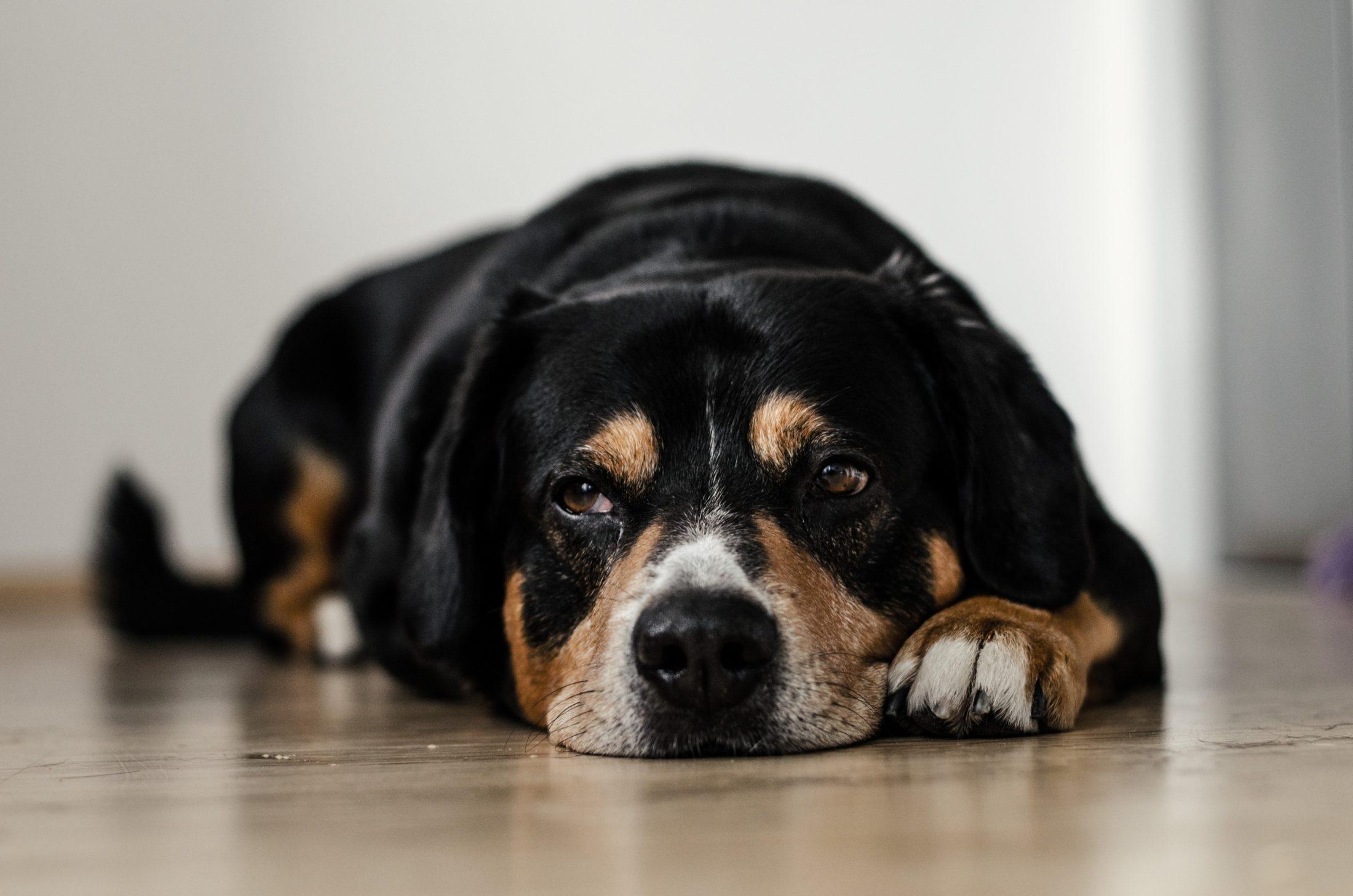 cachorro adulto deitado no chão
