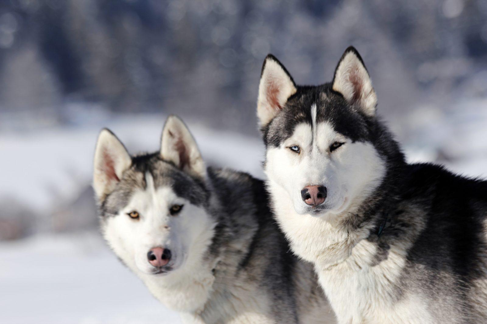 fatos-bizarros-huskies