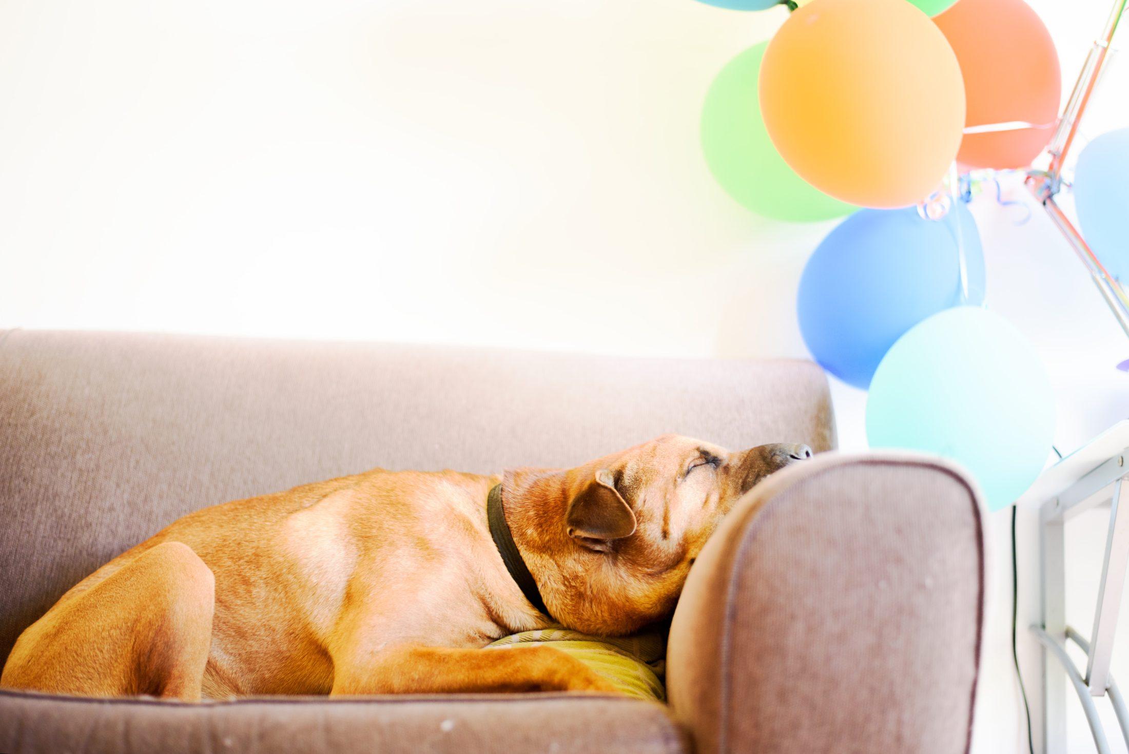 cachorro deitado no sofá depois de festa de aniversário para cachorro