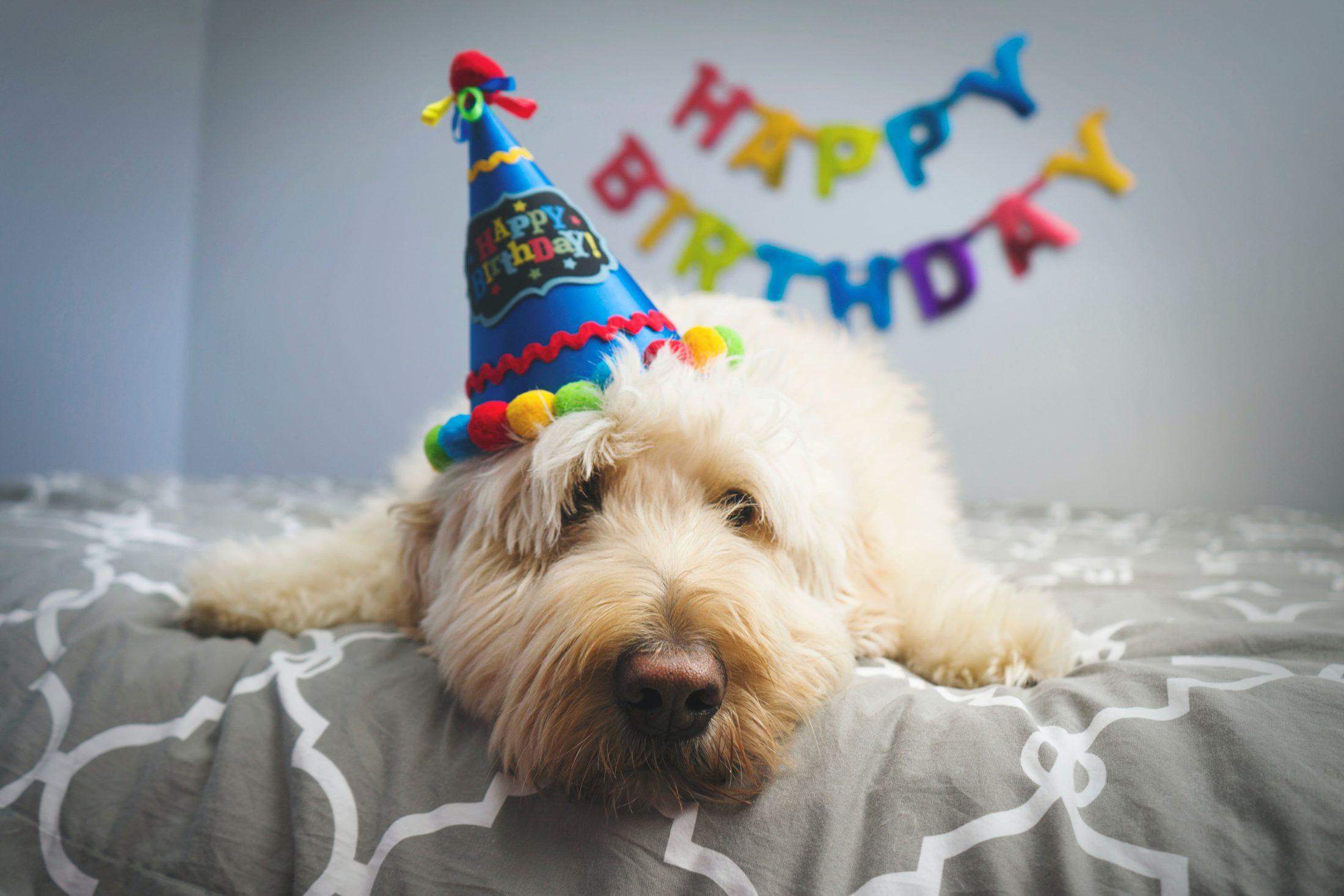 cachorro deitado com chapéu de festa de aniversário para cachorro