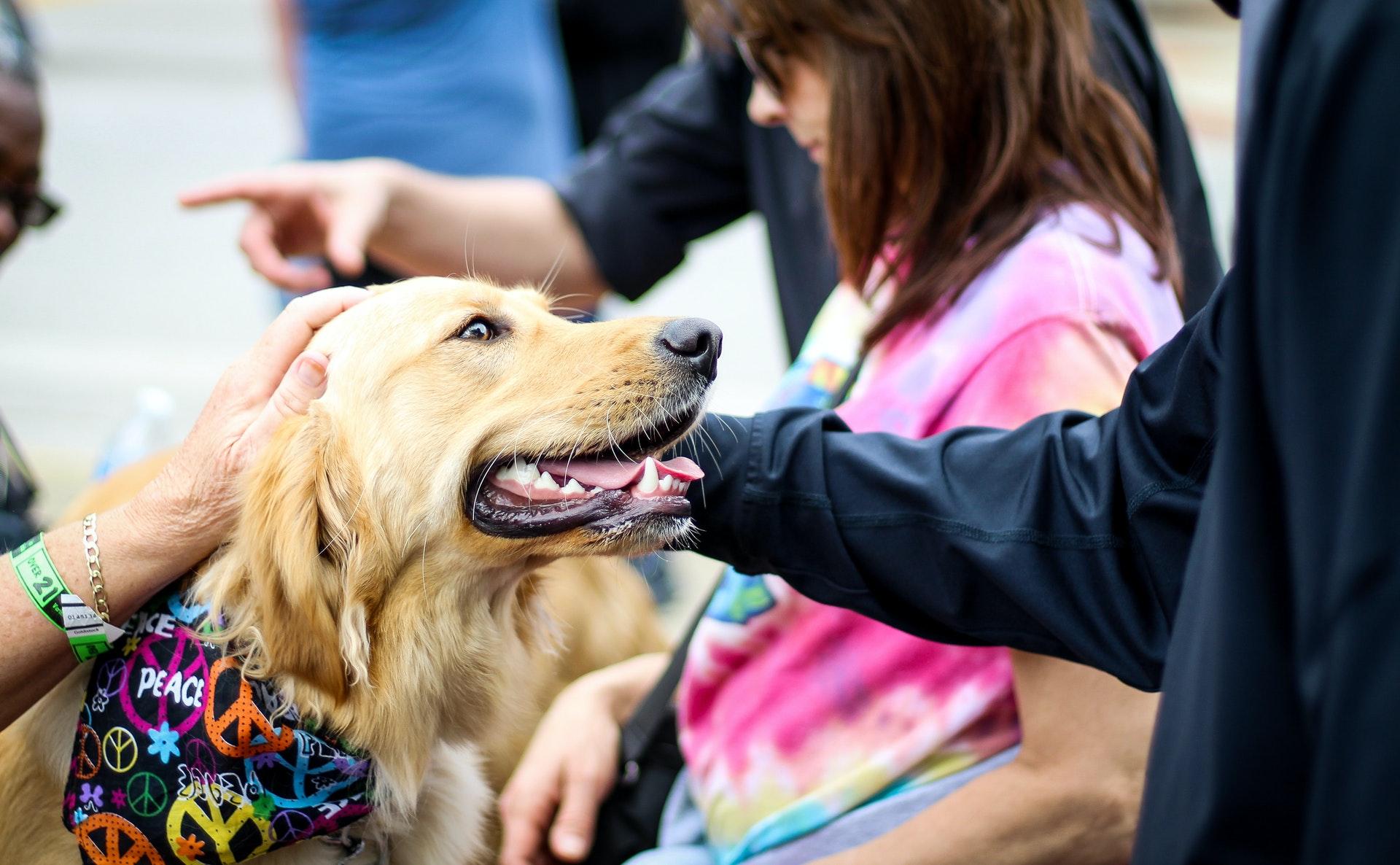 cachorro golden retriever com bandana recebendo afago em festa de aniversário para cachorro.