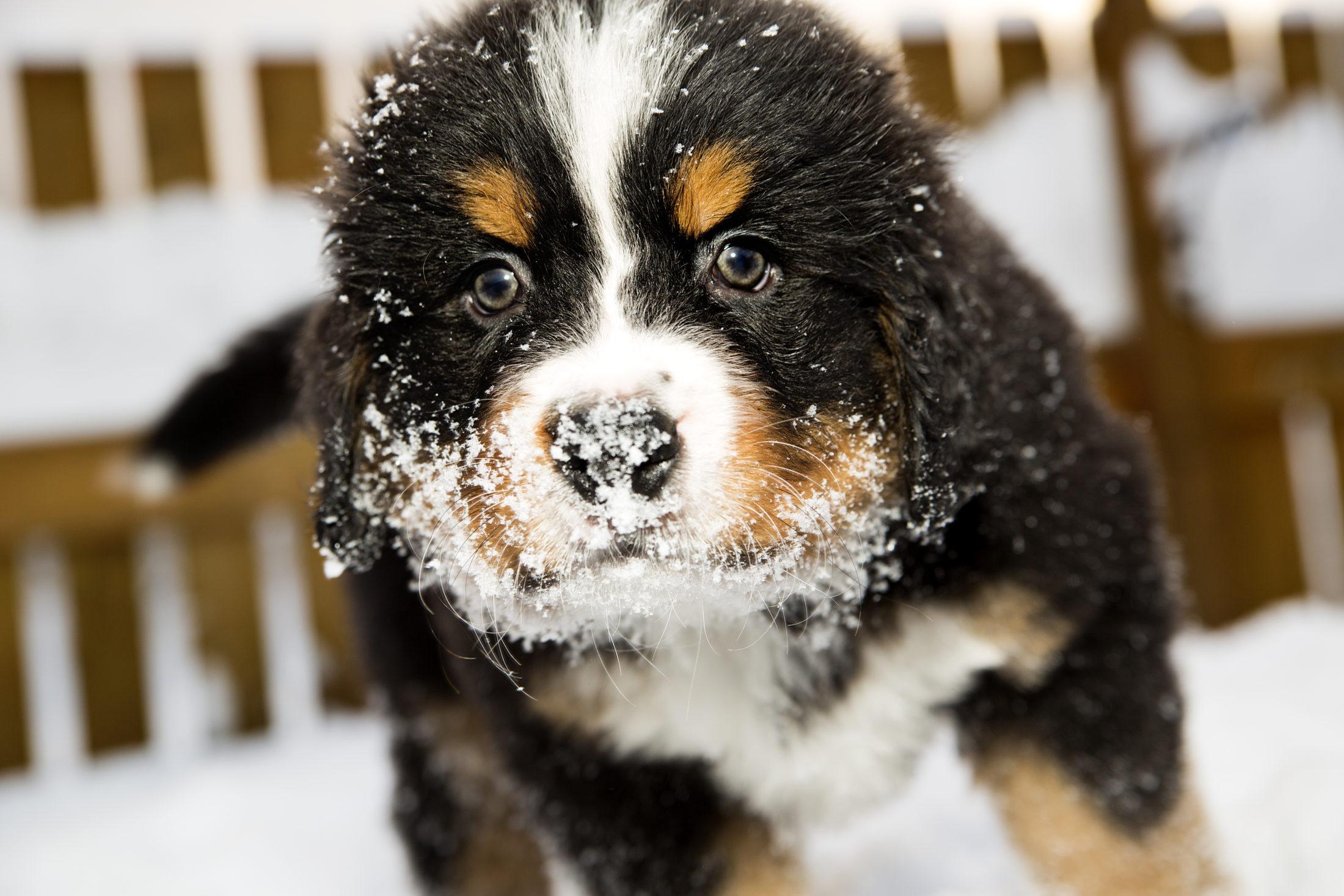 filhotes de cachorro bernese