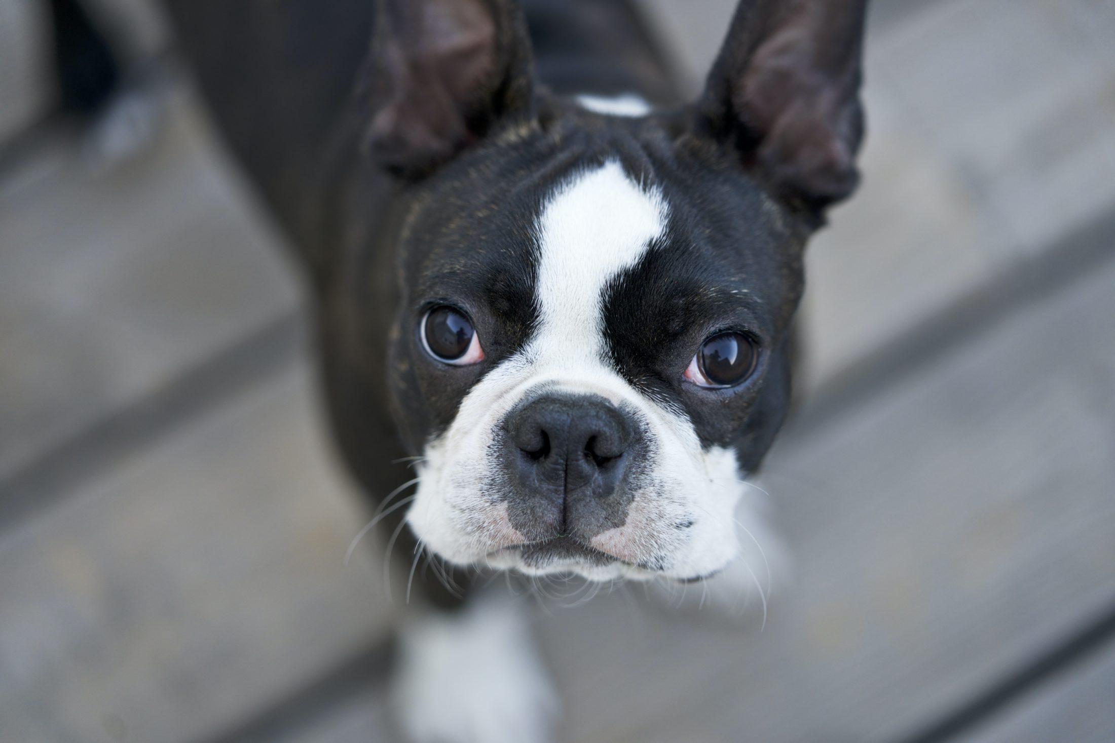 filhotes de cachorro boston terrier