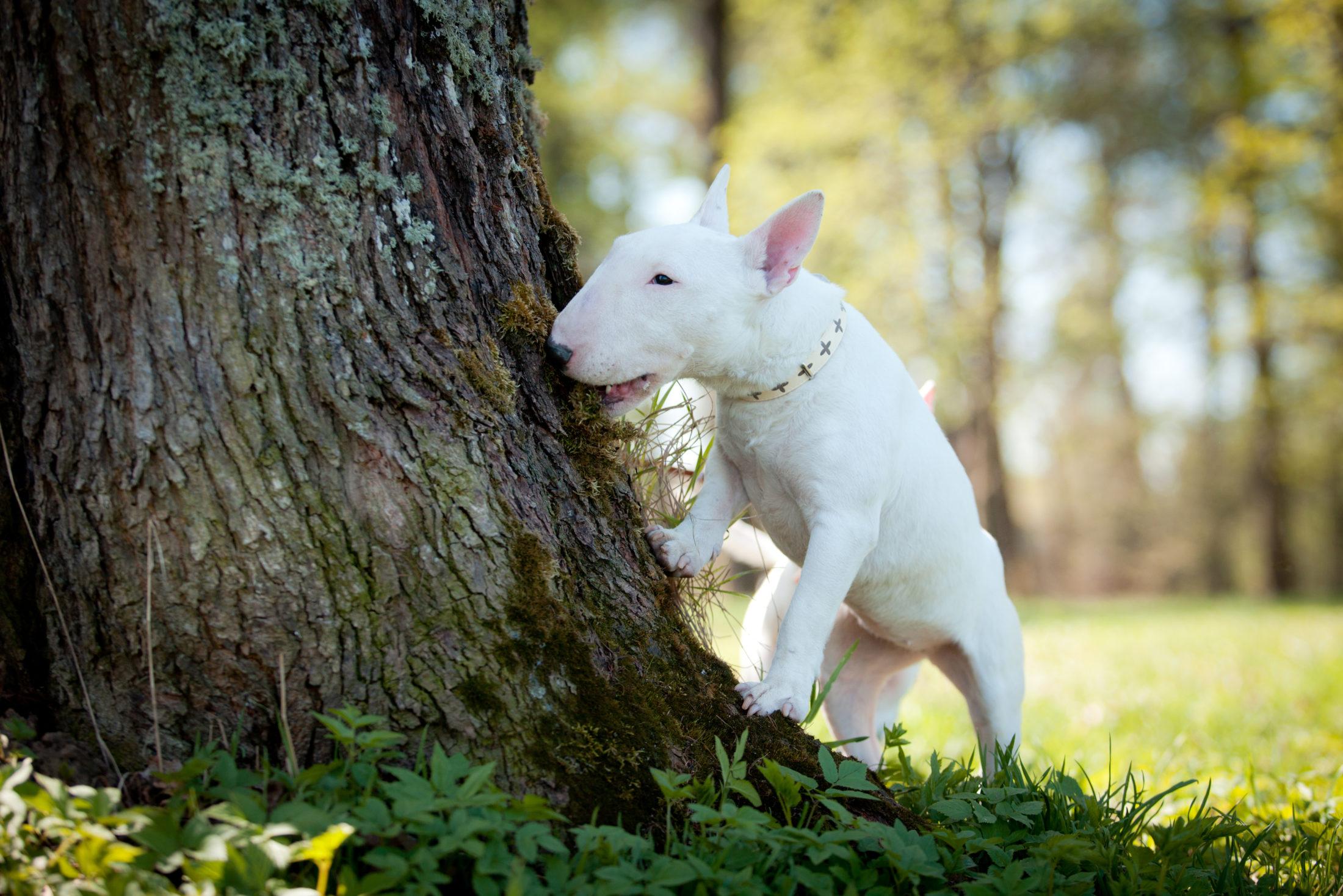filhotes de cachorro bull terrier