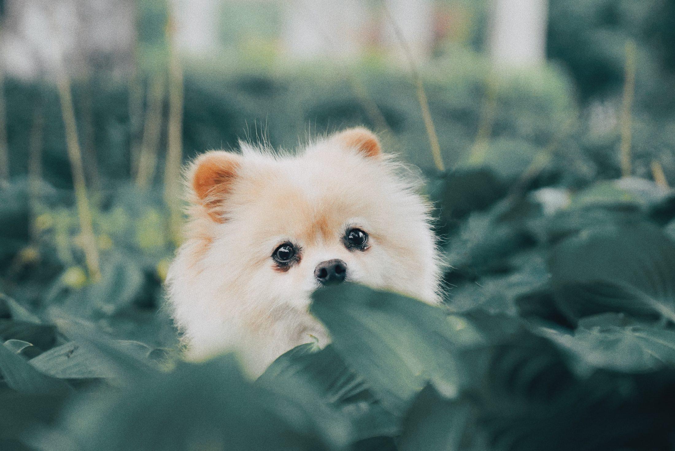 filhotes de cachorro lulu da pomerania