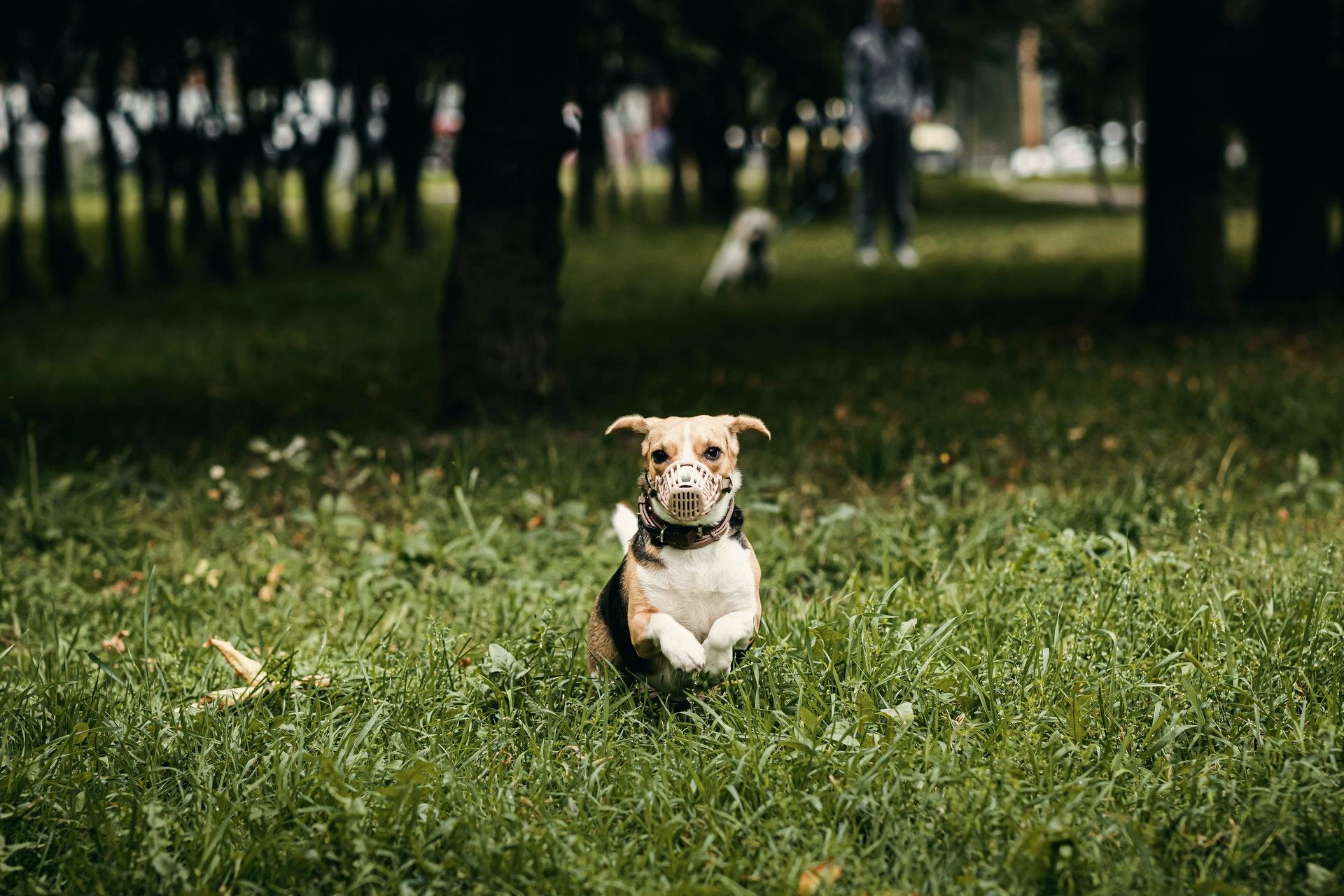 cachorro correndo no parque usando focinheira