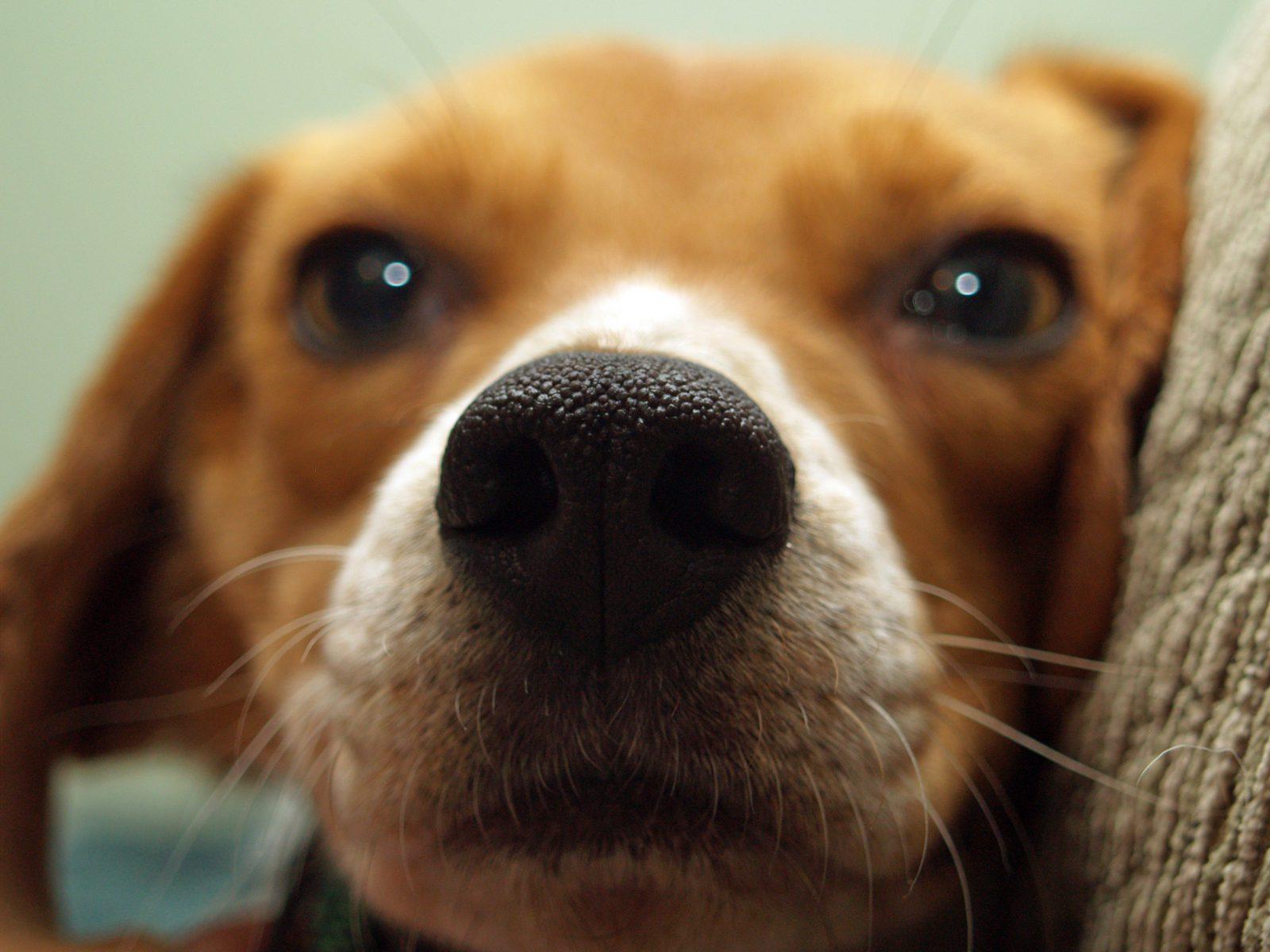 O focinho de cachorro é um órgão muito importante para o cachorro.