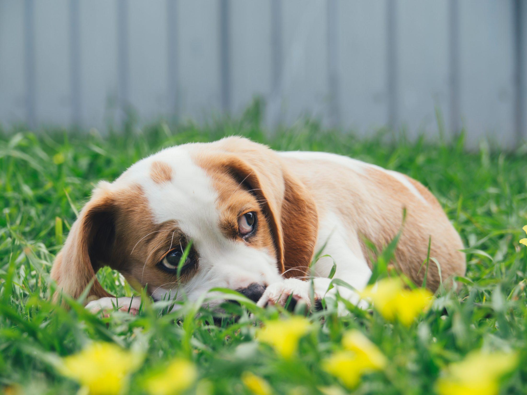 cachorro encolhido na grama com medo de fogos