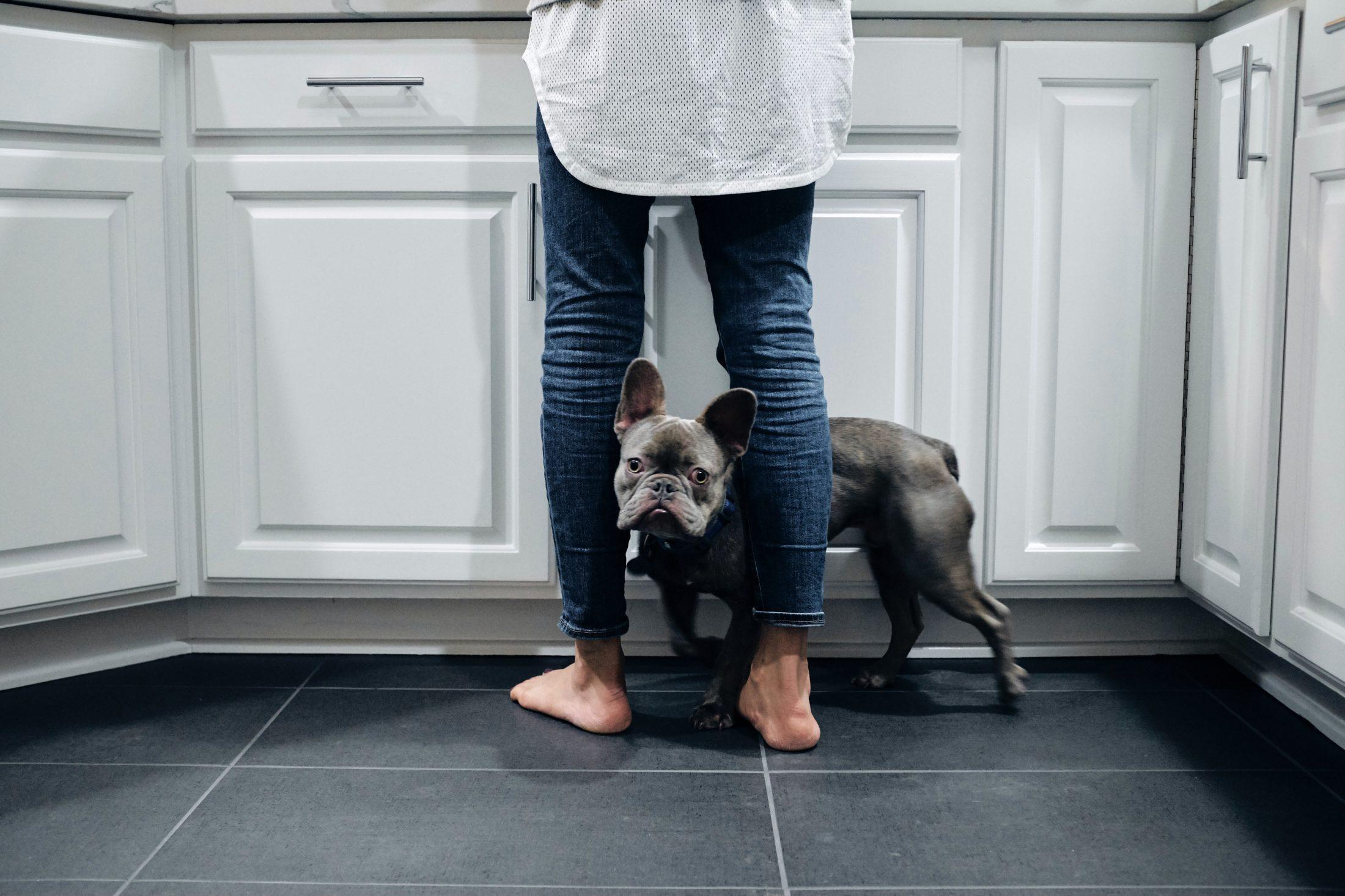 buldogue inglês nomeio das pernas do tutor lavando louça