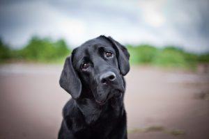 Cuidar do cachorro: Labrador preto e o seu olhar lânguido irresistível.