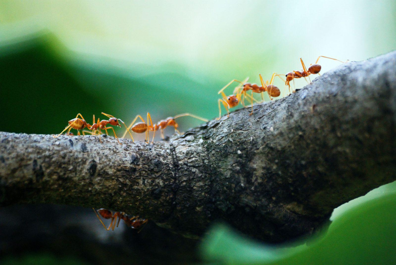A formiga leva dias para formar uma colônia.