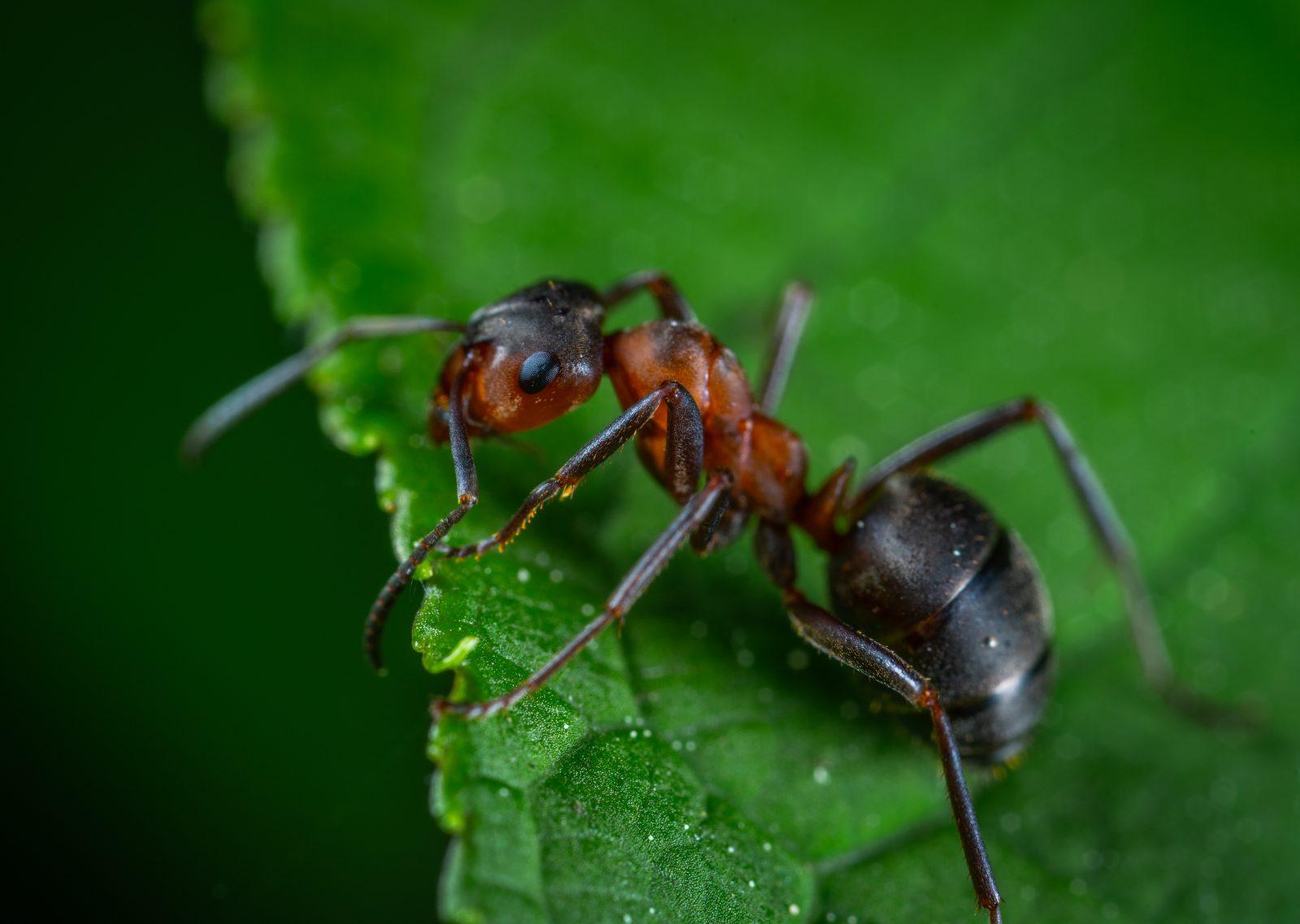 A formiga possui um enorme senso de organização.
