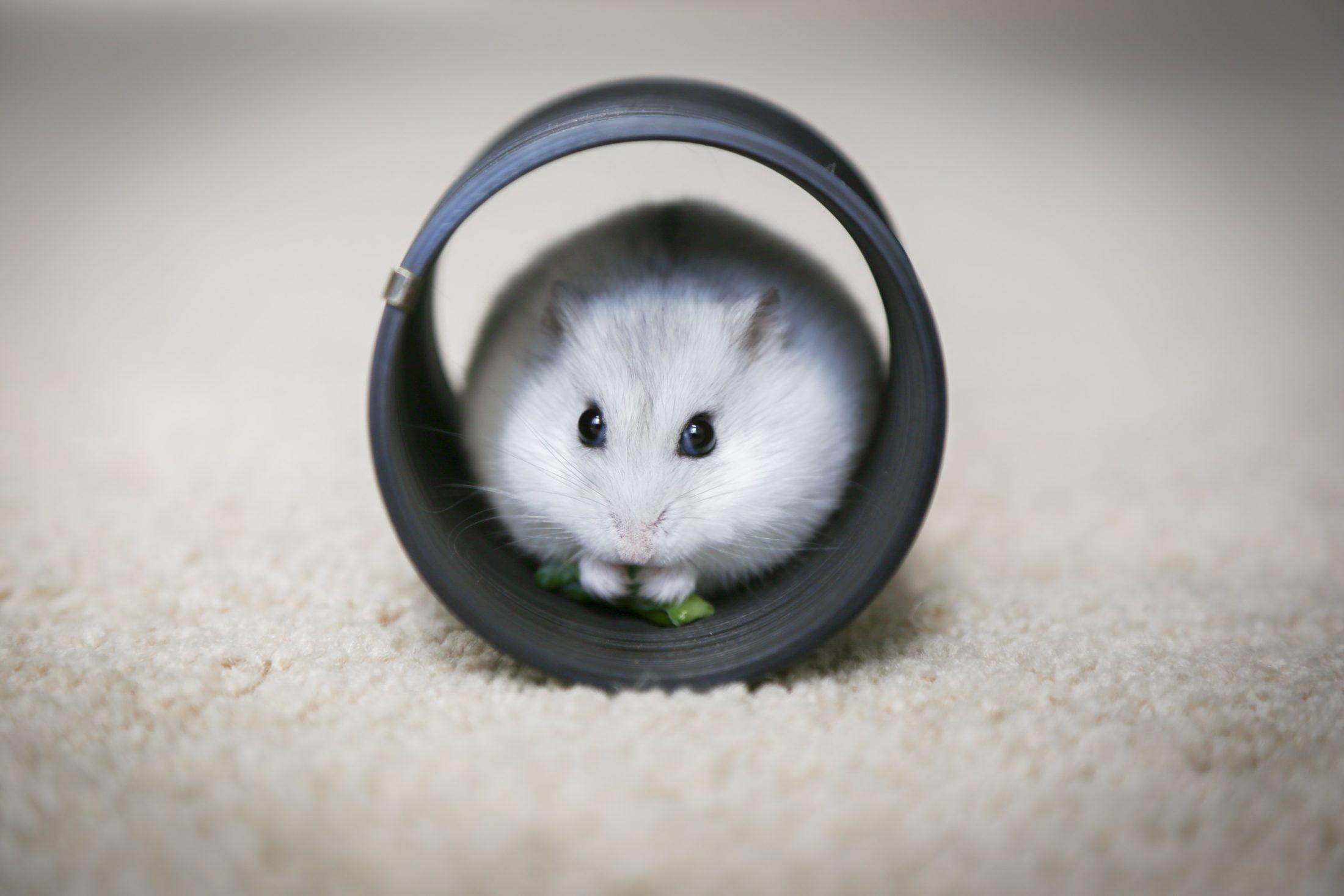hamster dentro de um cilindro