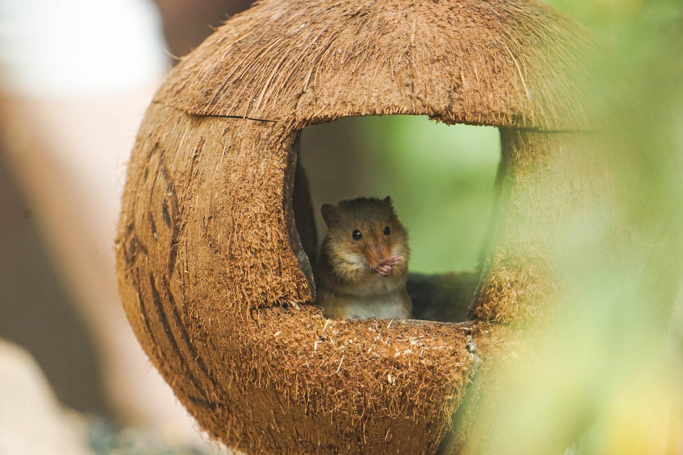 hmster dentro de uma toca feito de coco seco