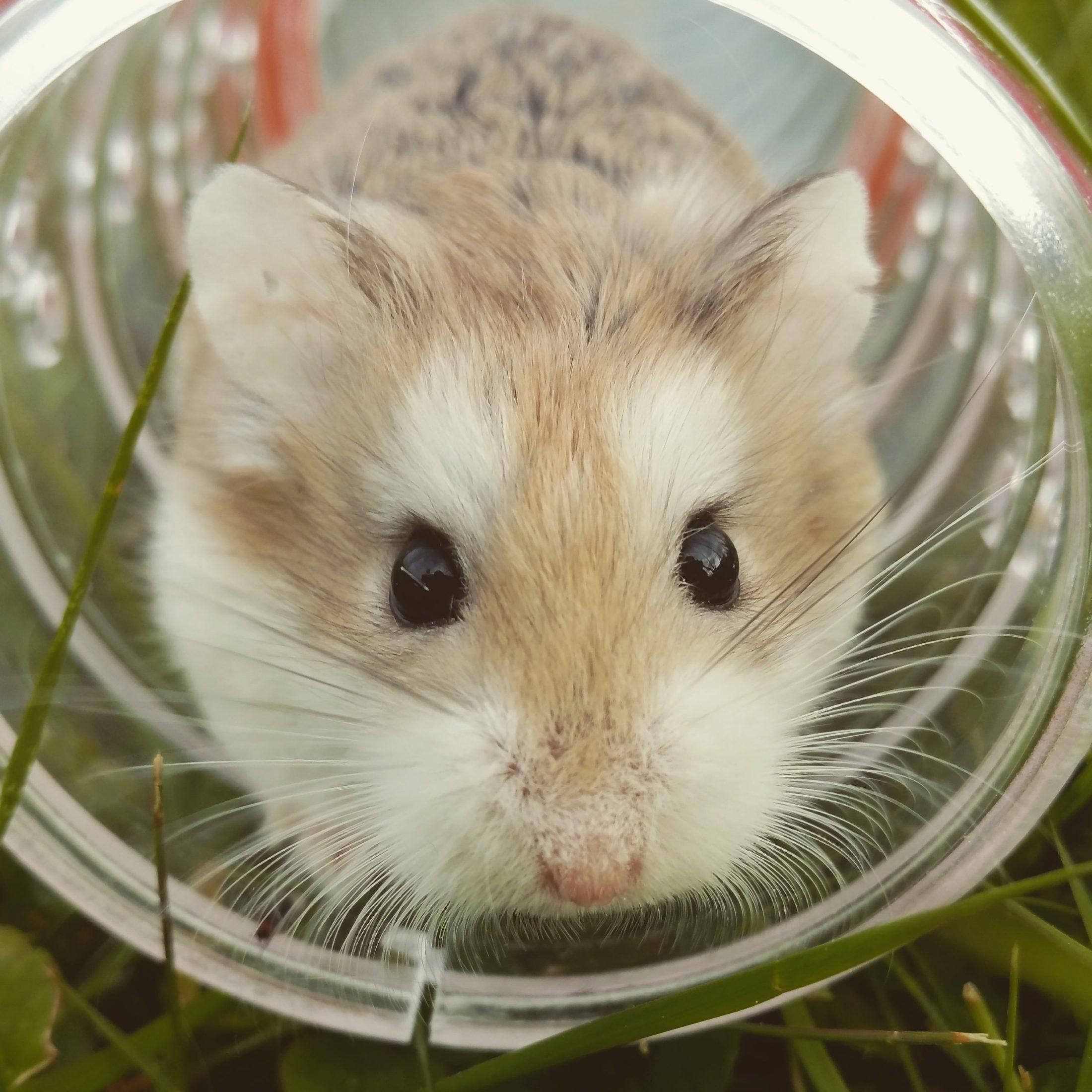hamster dentro de um túnel na gaiola