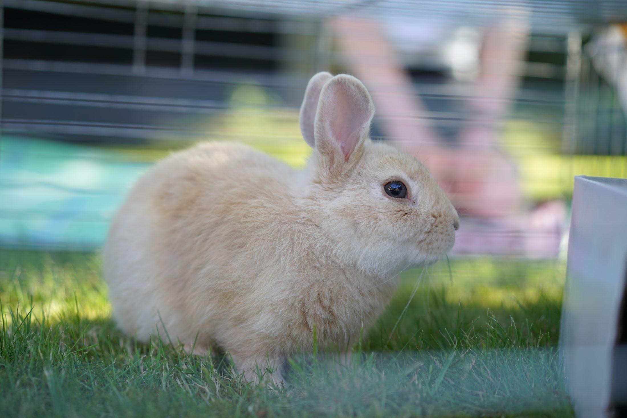 Para escolher a melhor gaiola para coelho é preciso ficar atento às características.