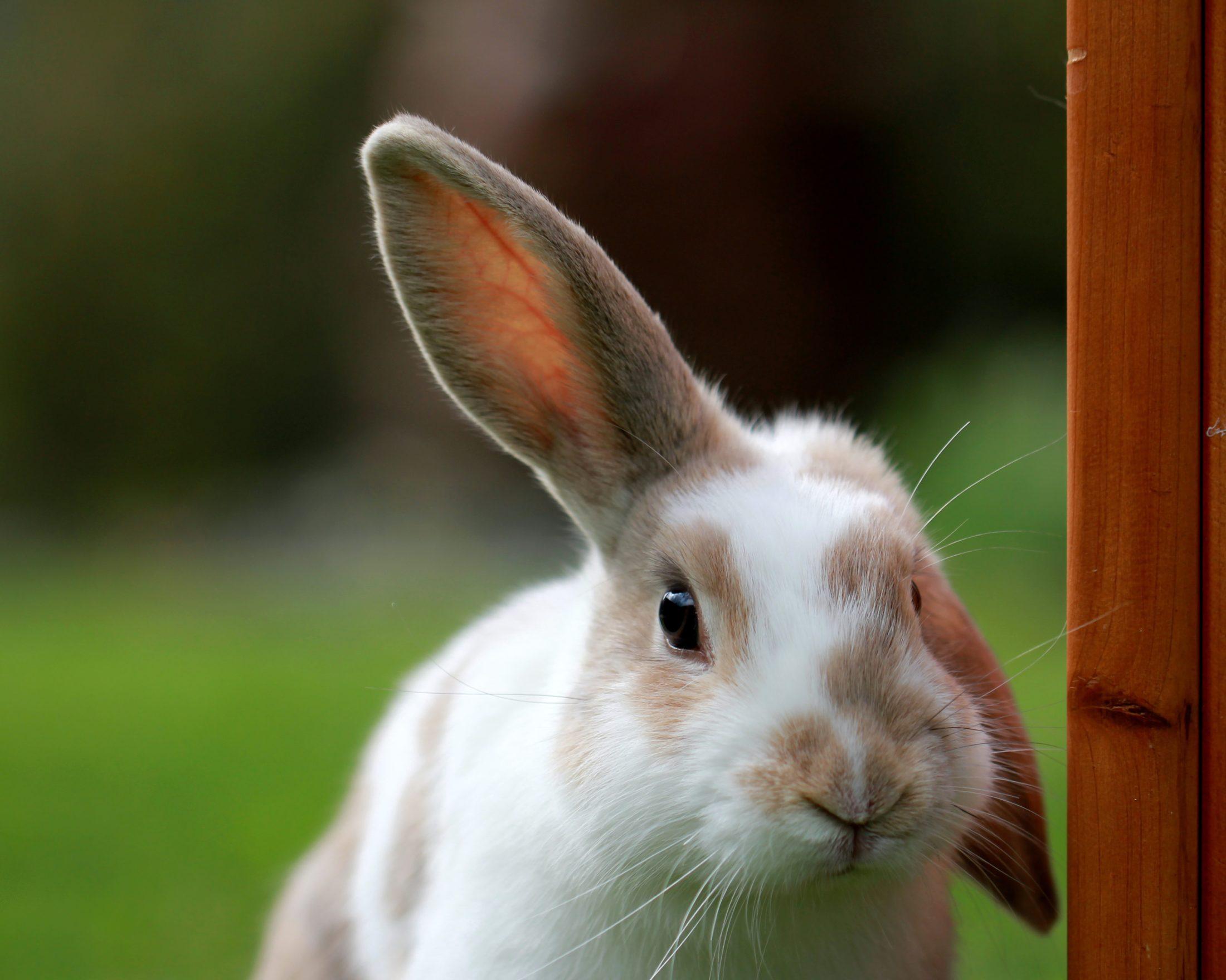A melhor gaiola para coelho é aquela que proporciona espaço e conforto.