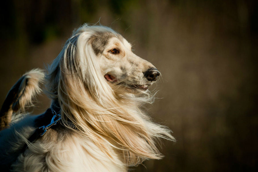 cachorro-galgo-afegao-atividades