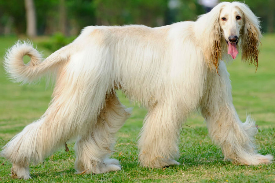 cachorro-galgo-afegao-cuidados