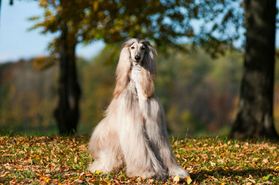 cachorro-galgo-afegao-saude