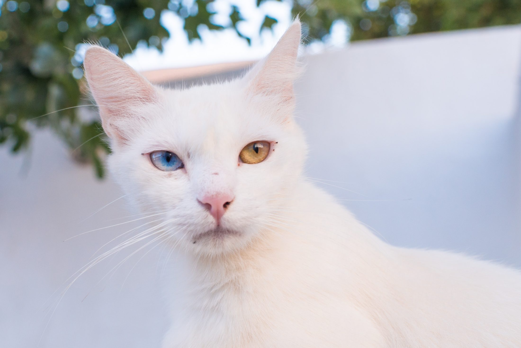 gato feliz de olhos de cor diferente