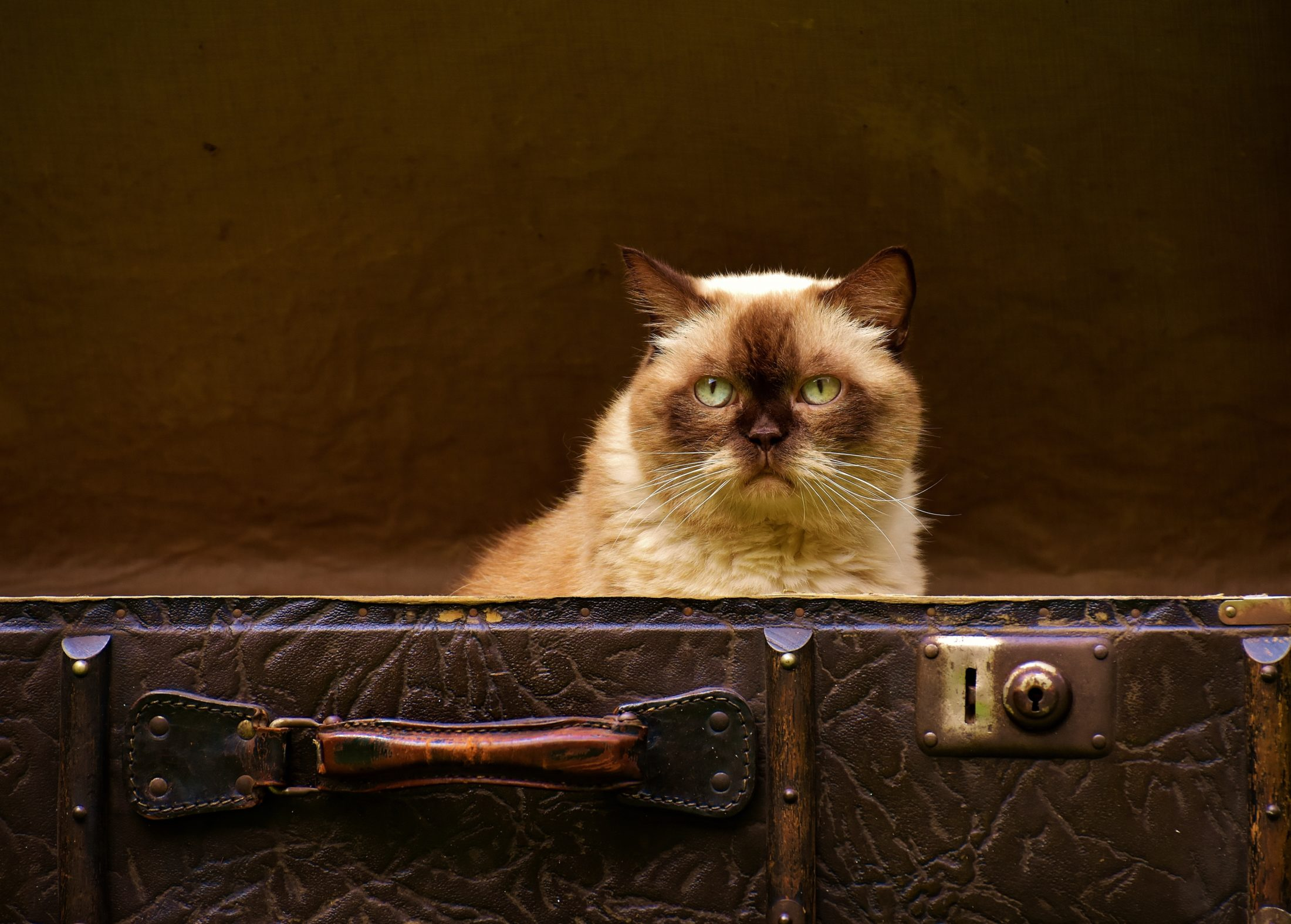 gato dentro de uma mala de viagem