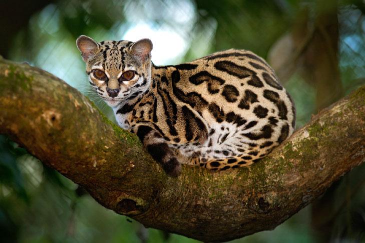 O gato maracajá é um dos animais em extinção no Brasil.