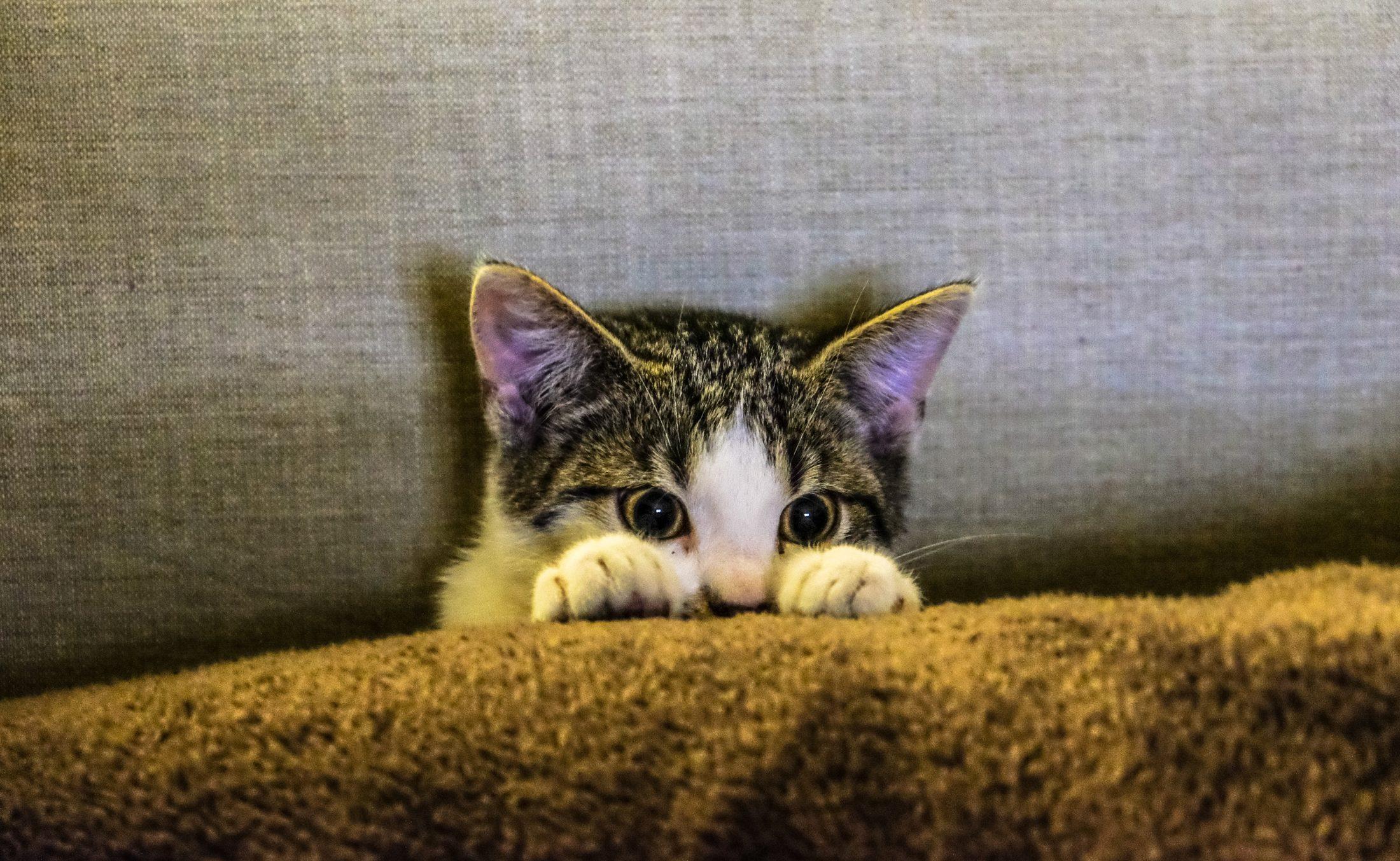 gato para adoção escondido entre as almofadas do sofá