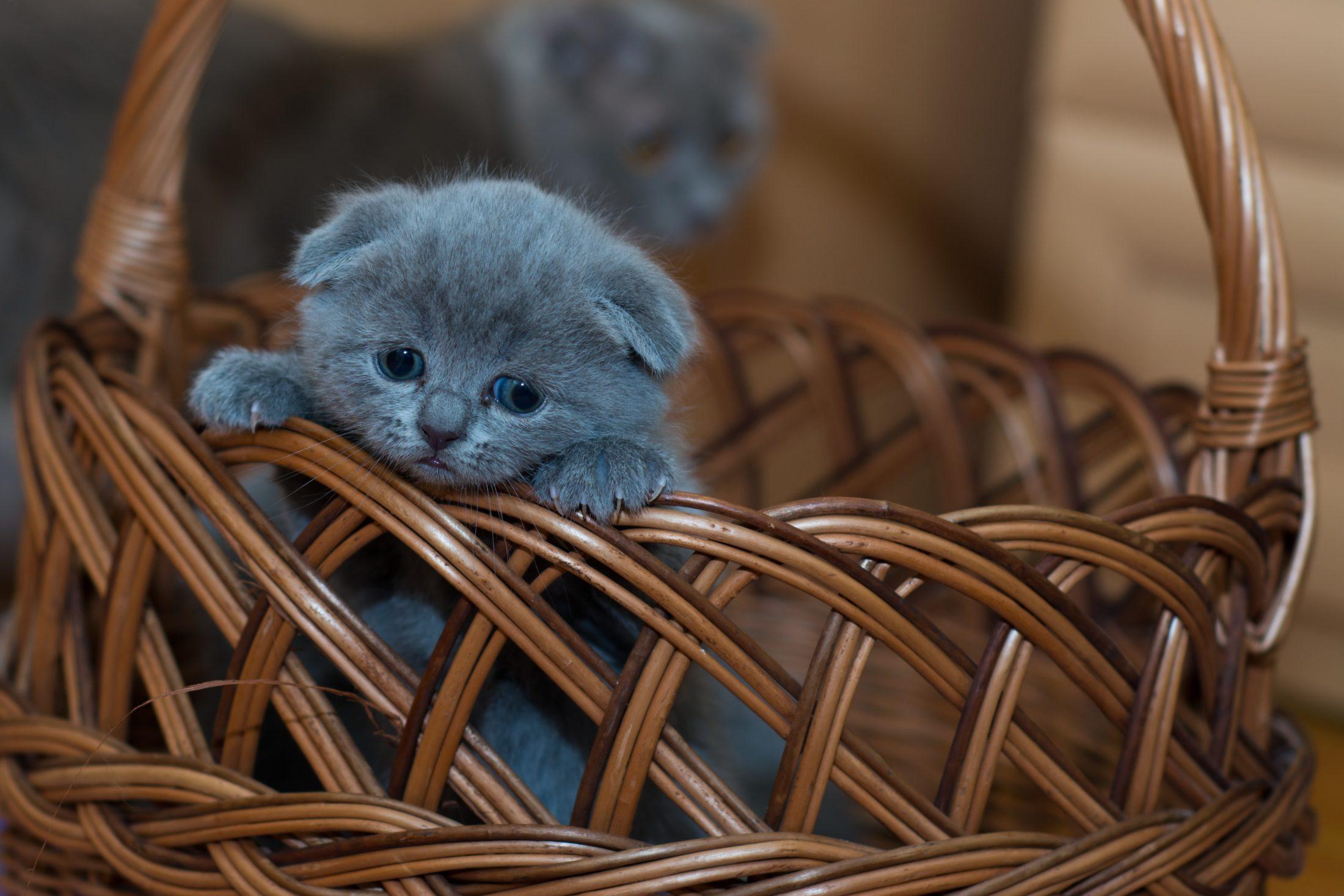 gato para adoção em cesta de vime