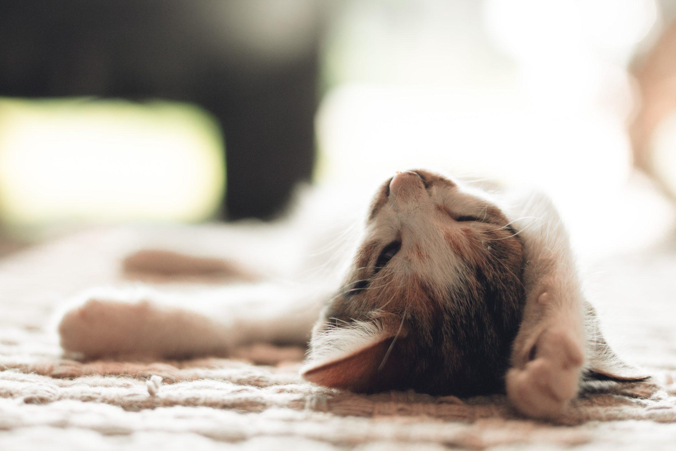Há sempre um gato para adoção mais adequado a cada estilod e vida.