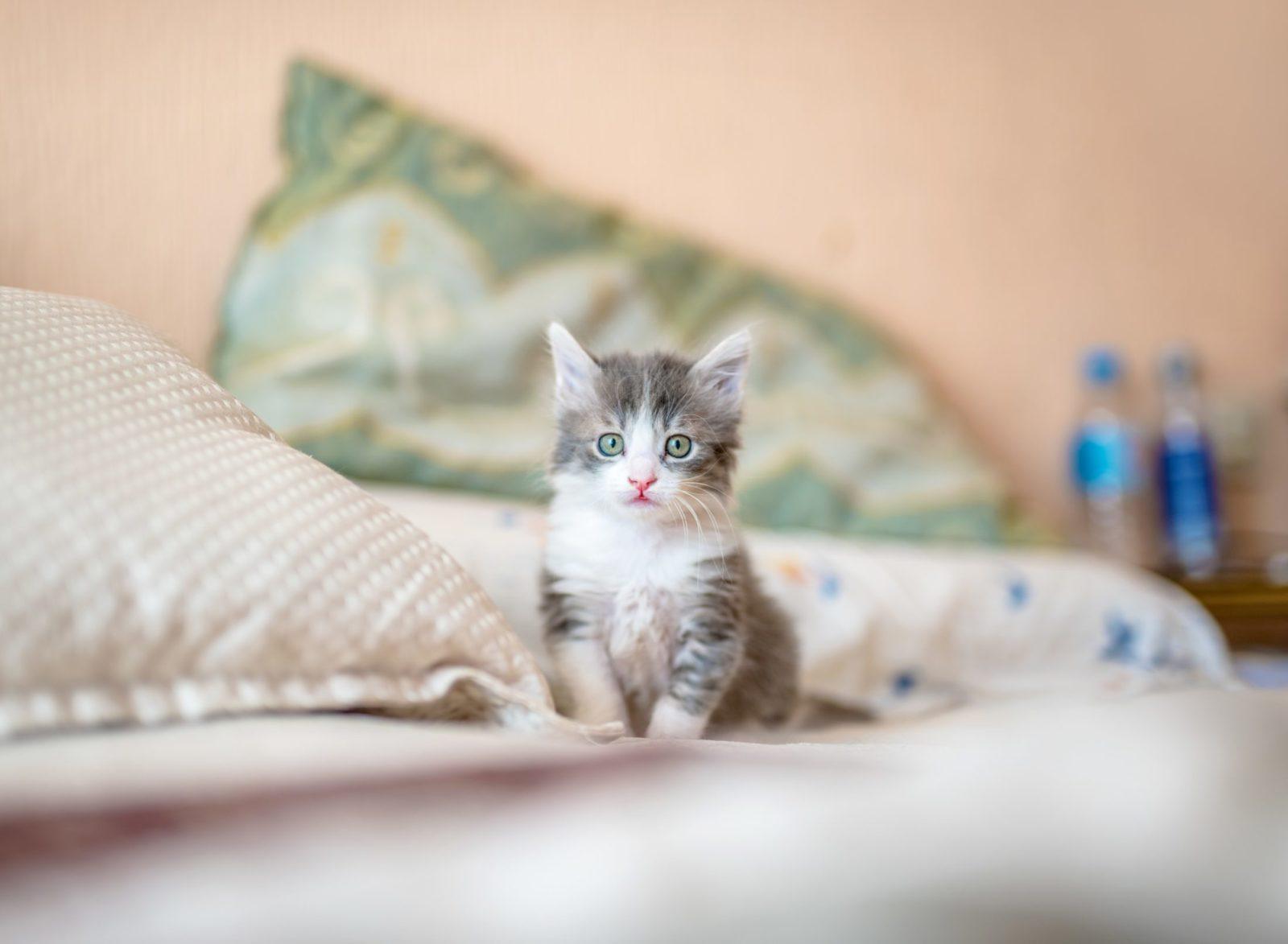 Existem algumas raças de gatos miando mais que outras.