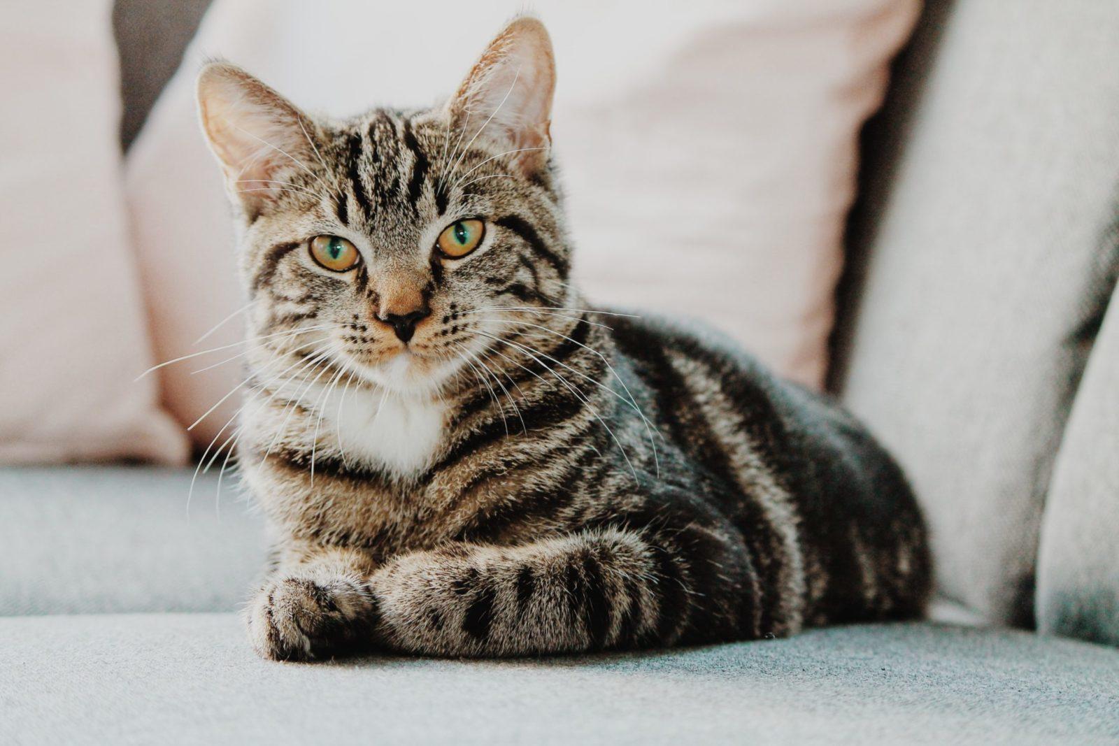 gatos miando em cima do sofá