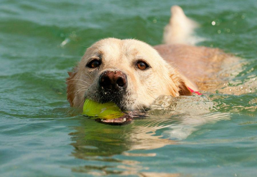 cachorro-golden-retriever-atividade
